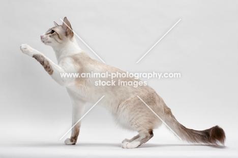 Balinese in studio, Seal Lynx Point Bi-Color, reaching