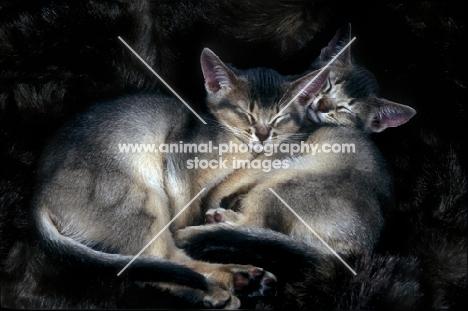 two abyssinian kittens asleep