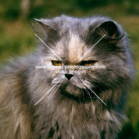 blue cream long hair cat looking cross, with slit eyes