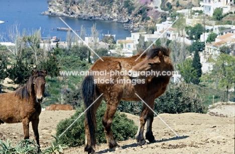 skyros pony biting her coat on skyros island, greece