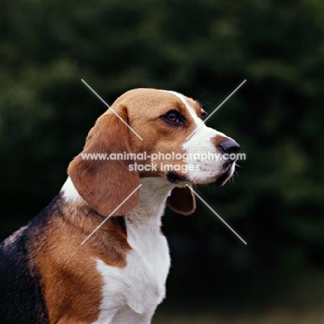 beagle, portrait