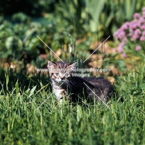 brown tabby shorthair kitten