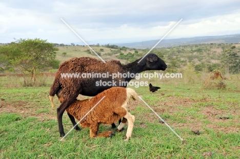 Nguni lamb drinking