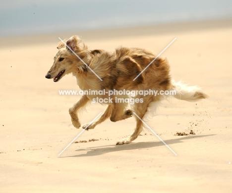 Silken Windhound running on beach