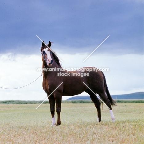 confident looking arab stallion