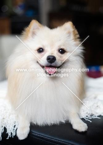 Cream Pomeranian on ottoman, smiling at camera.