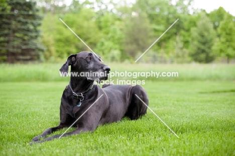 Black Great Dane lying in green yard.