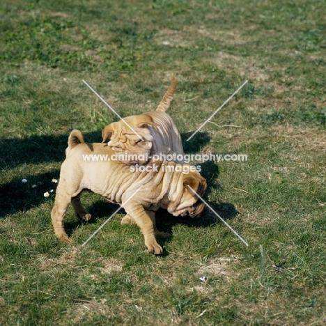shar pei pups playing