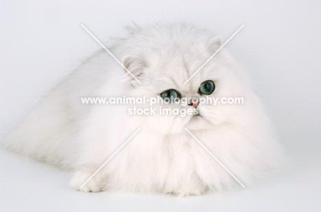 chinchilla cat lying on white background