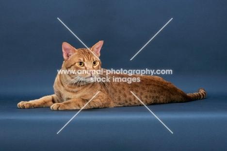 Ocicat, cinnamon spotted tabby colour