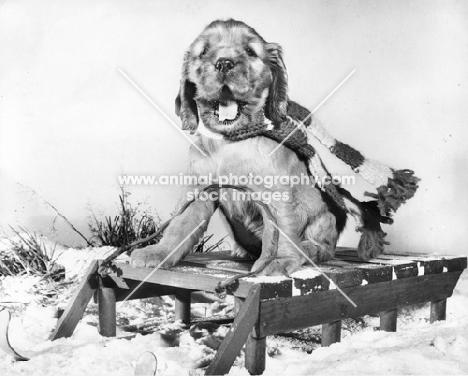 Cocker Spaniel puppy sitting on sleigh