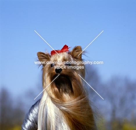 ch yadnum regal fare, head study of  yorkshire terrier in wind