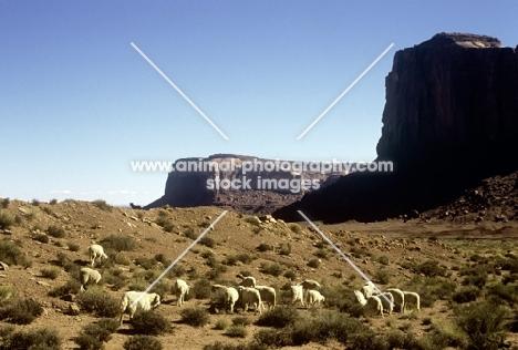 navajo-churro sheep in monument valley, usa