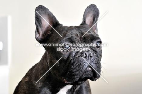 French Bulldog head shot on cream background