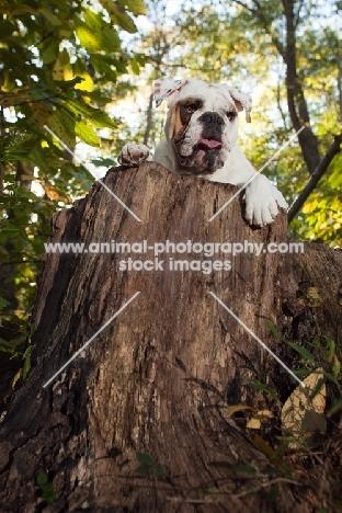 Bulldog on log