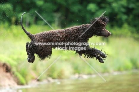 Irish Water Spaniel jumling into water