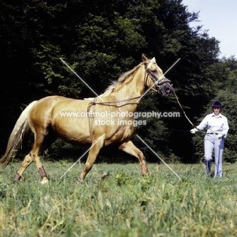 lungeing palomino horse