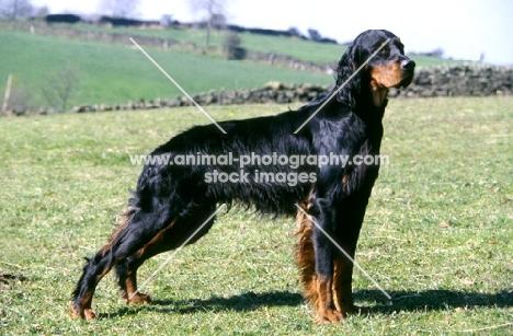 gordon setter from upperwood standing in the wind in field