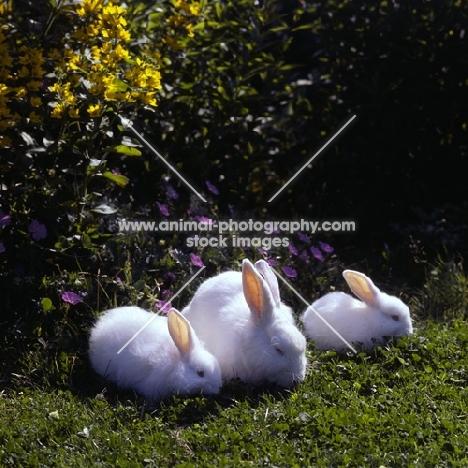 three fluffy white rabbits together