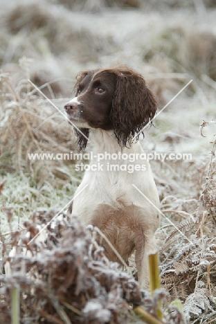 English Springer Spaniel in frosty scene