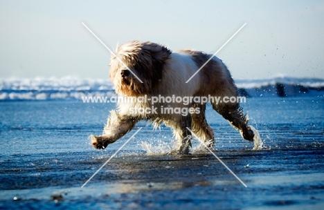 Polish Lowland Sheepdog (aka polski owczarek nizinny) running in sea