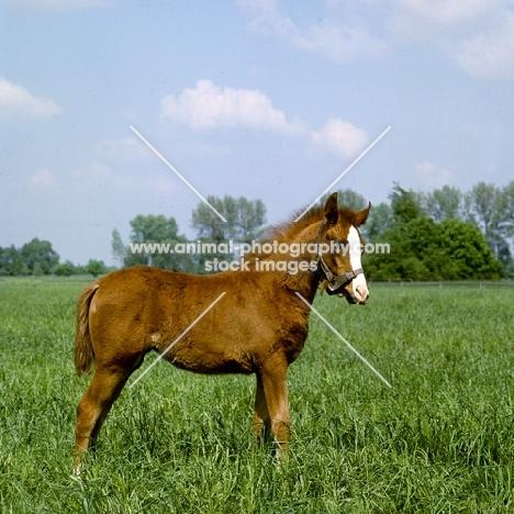 Polish Arab foal full body