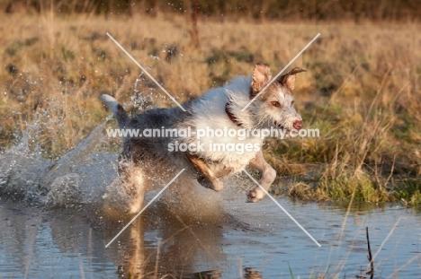 Lurcher running through water