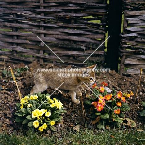 abyssinian kitten in garden with flowers