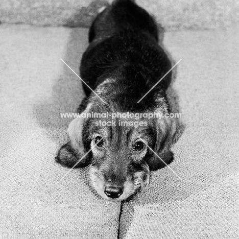 wire haired dachshund puppy on sofa