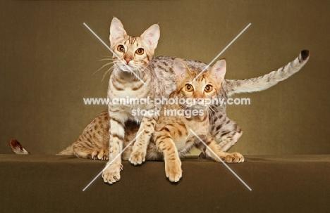 two Ocicats in studio