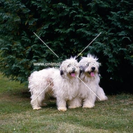 two polish lowland sheepdogs
