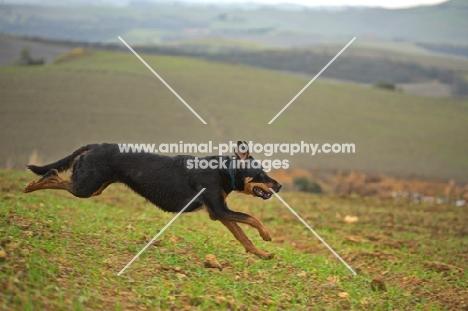 Mongrel dog running down an hill