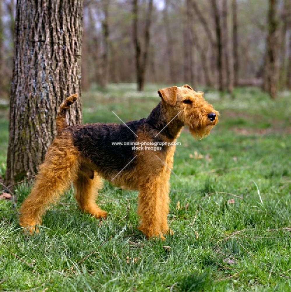 bear hill's lord glamorgan, welsh terrier near tree in usa
