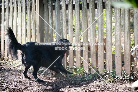 black shepherd mix barking at fence