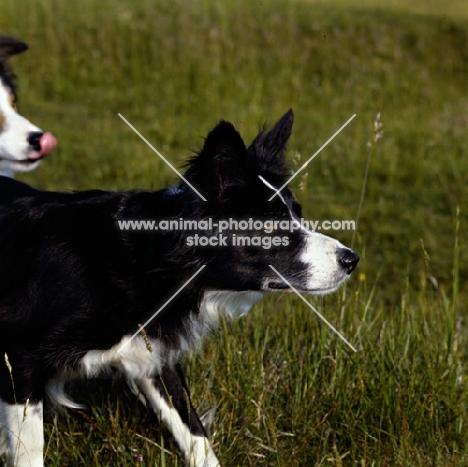 border collie eyeing