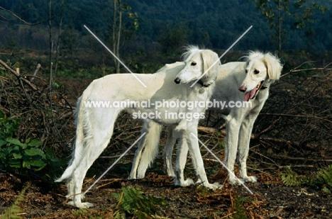 geldara amrita, geldara oberon, pair of salukis looking over their shoulder