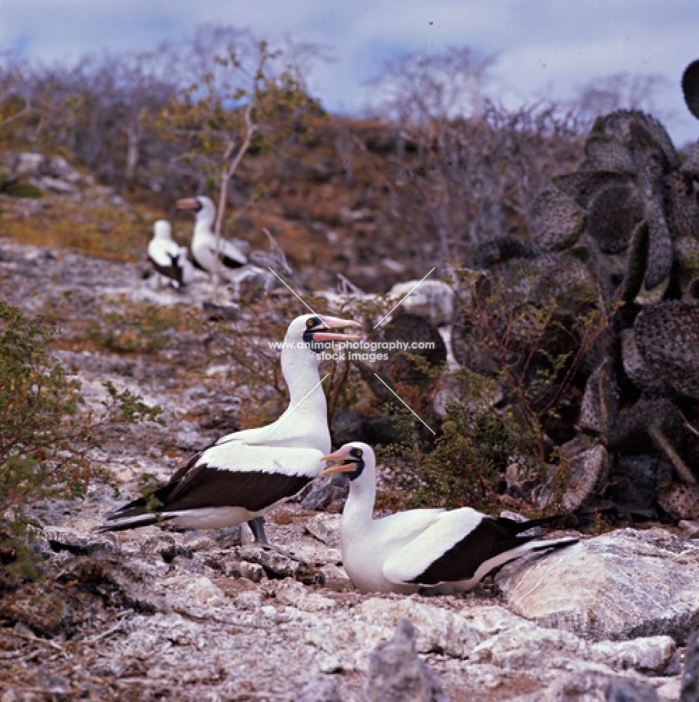 masked boobies at daphne island crater rim, galapagos islands