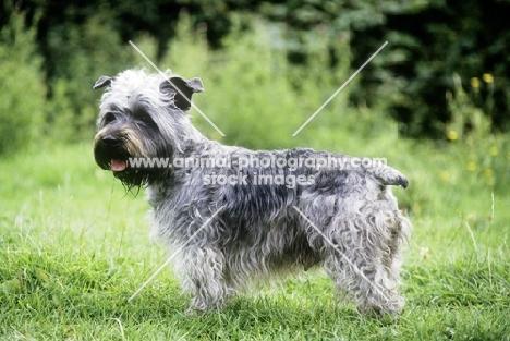 malsville moody blue of farni,  glen of imaal terrier standing on grass
