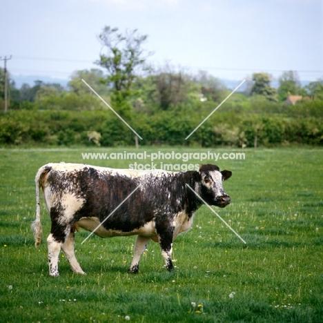 polled longhorn cow in field