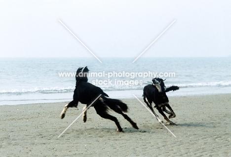 ch burydown hephzibah and friend, salukis playing on beach