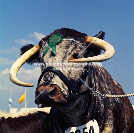 longhorn bull at a show
