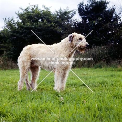 irish wolfhound standing in grass