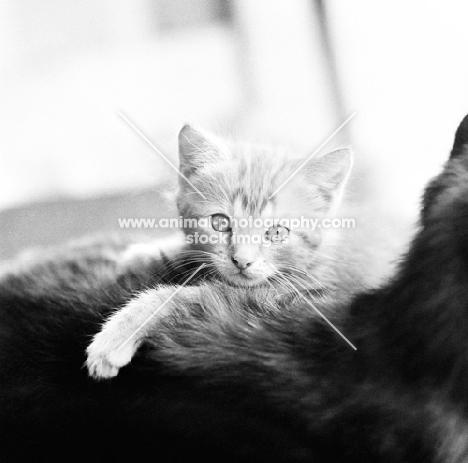 tabby kitten on his mother's back