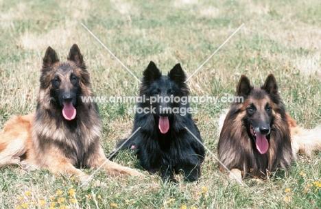 belgian sheepdogs tervueren and groenendael, middle