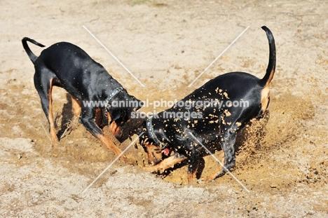 two German Pinschers digging, (Deutscher Pinscher)