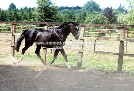 Hanoverian trotting in his paddock