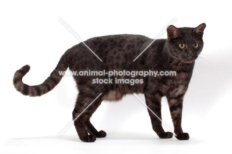 black spotted Safari cat, standing
