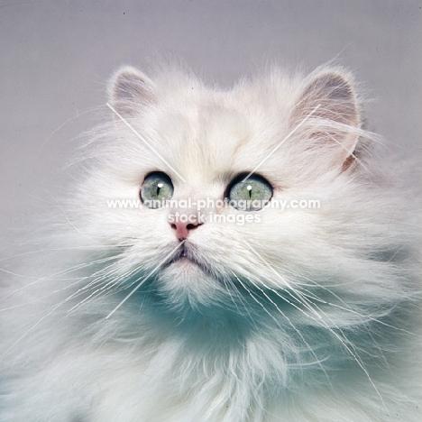 chinchila cat portrait