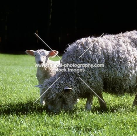 poll dorset cross sheep, lamb and ewe