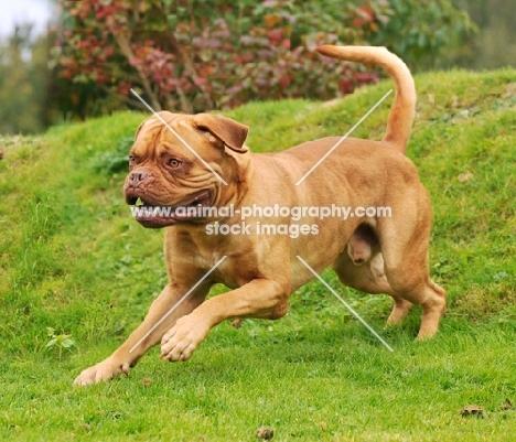 Dogue de Bordeaux running on grass